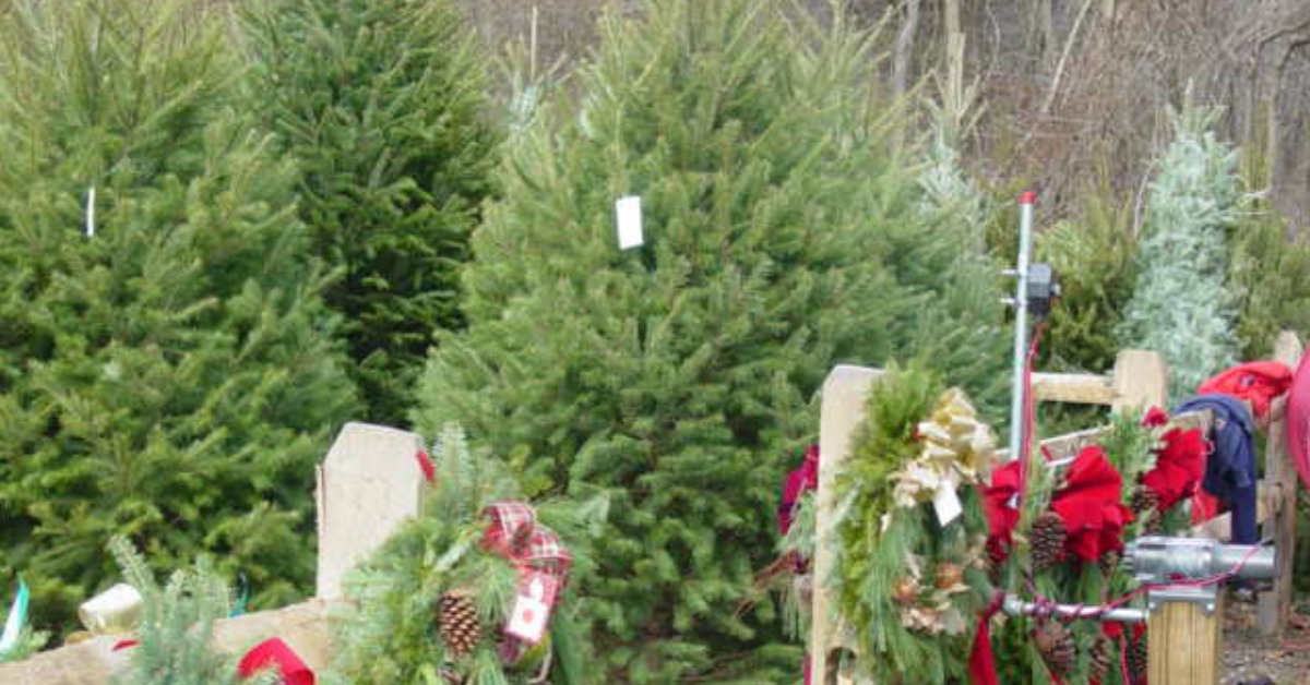 Cut Your Own OR Choose A Pre-Cut Christmas Tree!